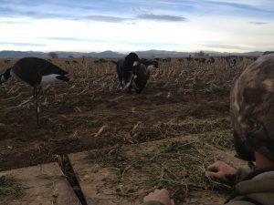 15783-Duck and Goose Update-harvesting birds