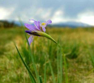 Tomahawk State Wildlife Flower